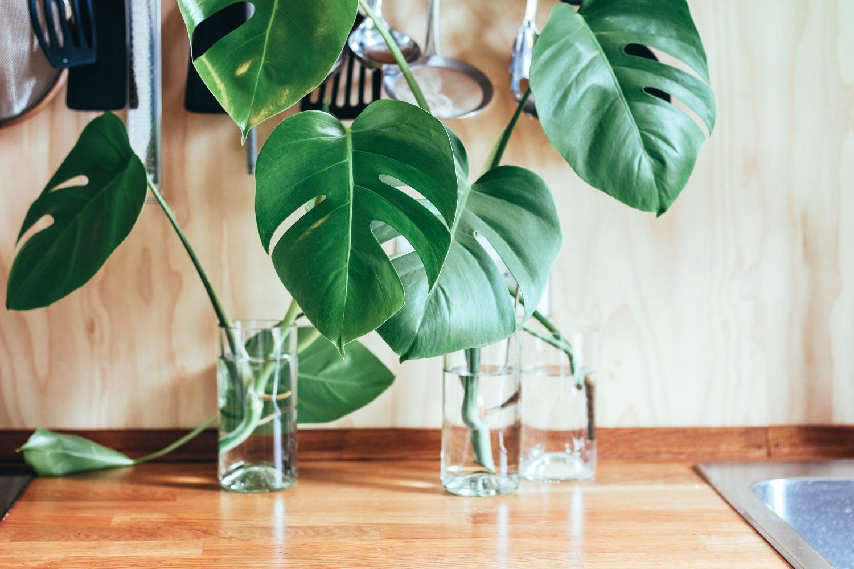 Pani Green – Rozmnażanie roślin, ukorzenianie roślin w wodzie