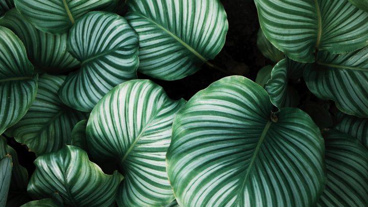 Pani Green - Jak opiekować się Calathea