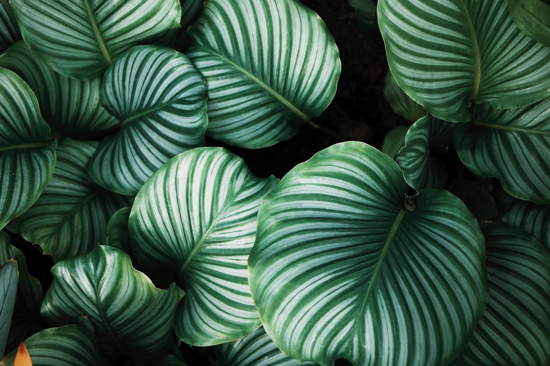 Pani Green – Jak opiekować się Calathea